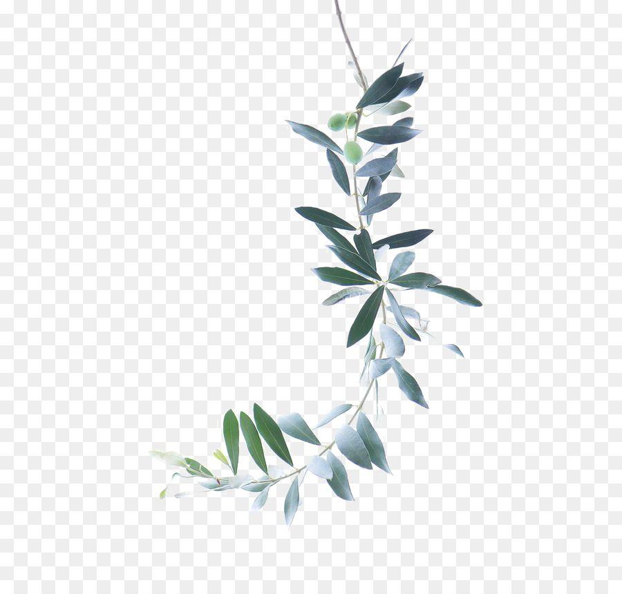 Watercolor Painting Olive Branch Green Leaves Grafis Bingkai Bunga