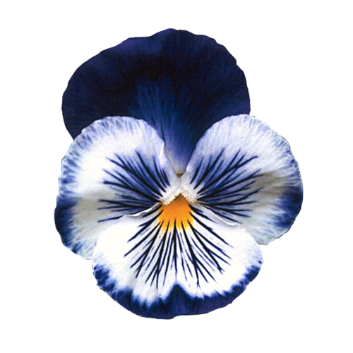 Virginpetal Transparent Pansy Made I Avirginpetal I Made A Transparent Pansy Pansies Flowers Pansies Bonsai Flower