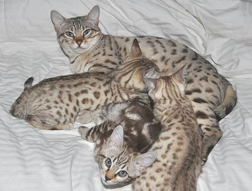 Bengal Cats And Kittens For Sale In San Diego Bengal Cat Bengal Cat For Sale Beautiful Cats