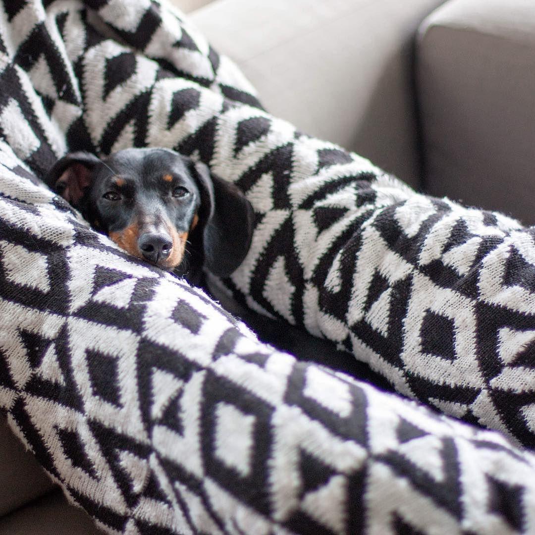 Instagram Photo By Frankie Wilde May 23 2016 At 1 58am Utc Doxie Puppies Mini Dachshund Lazy Dog