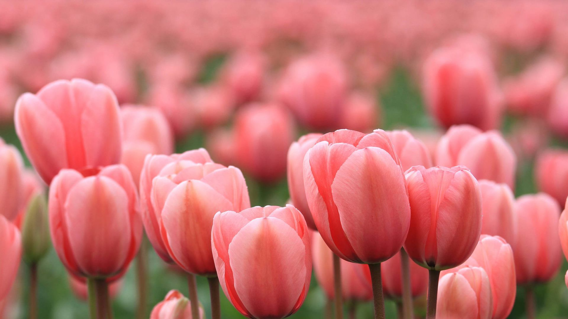 Pink tulips wallpapers wallpaper tulips images hd wallpapers pink tulips wallpapers wallpaper tulips images thecheapjerseys Image collections