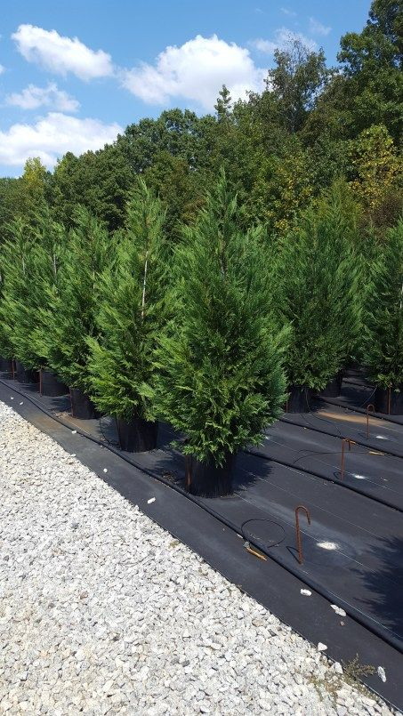 Leyland Cypress Trees - Fast Growing Privacy Trees - Local ...