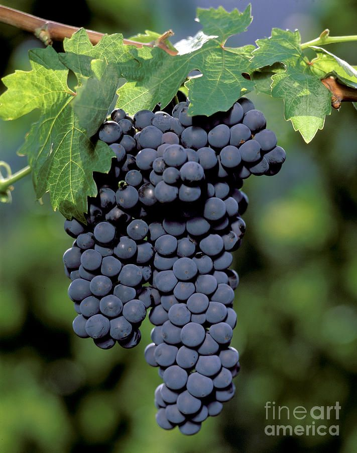 Zinfandel Wine Grape Clusters by Craig Lovell | Zinfandel wine, Grapes,  Zinfandel