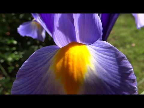Stunning Blue Iris Flower Relaxing Nature Video Youtube Iris Flowers Nature Nature Gif