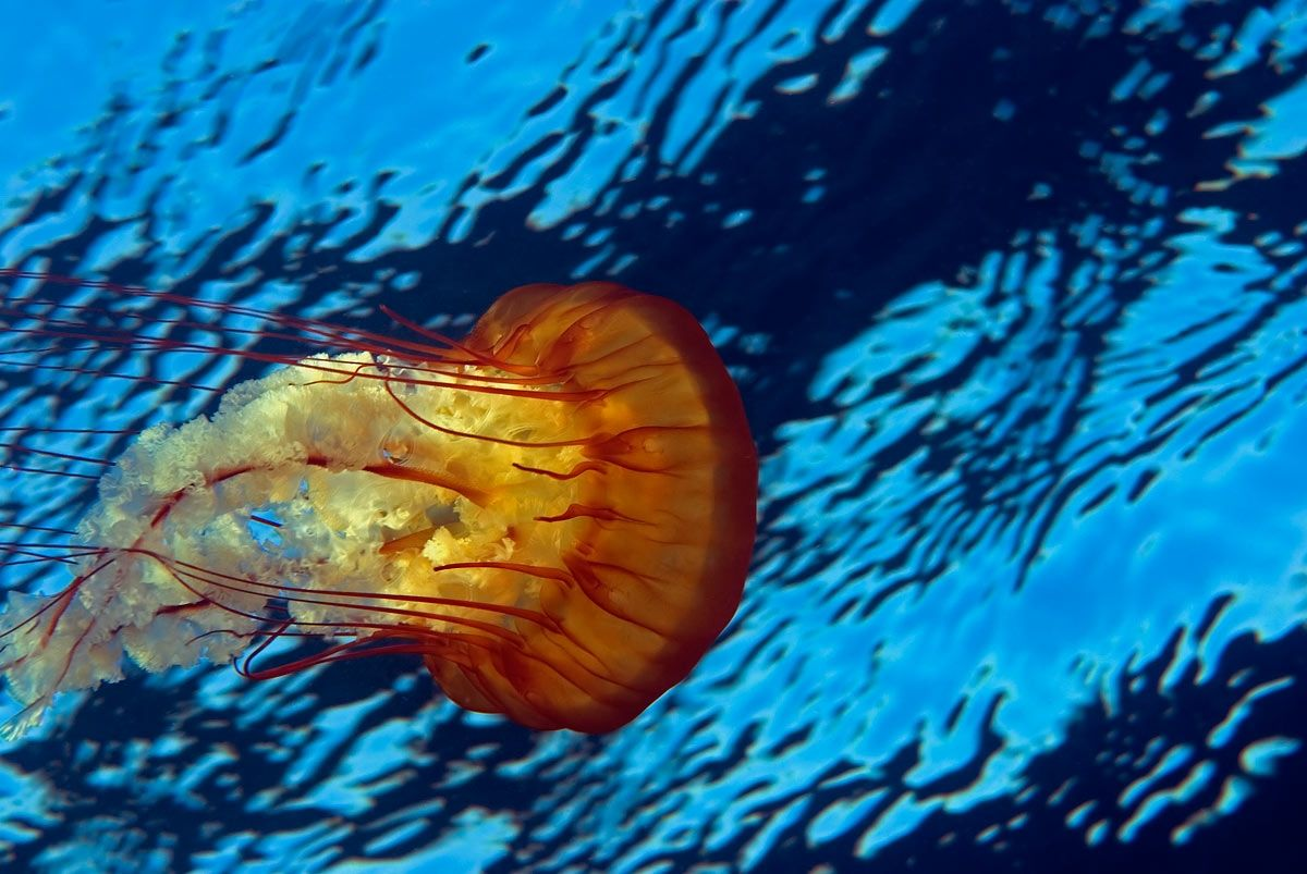 Beautiful Sea Creatures   Asdangerous and as beautiful as they are, these beautiful deep sea ...