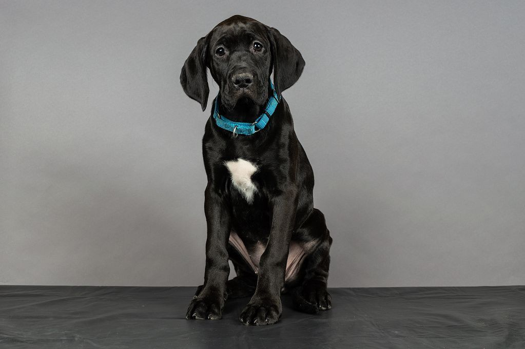 Adopt Holly Placed Adoption Pending On Great Dane Dogs