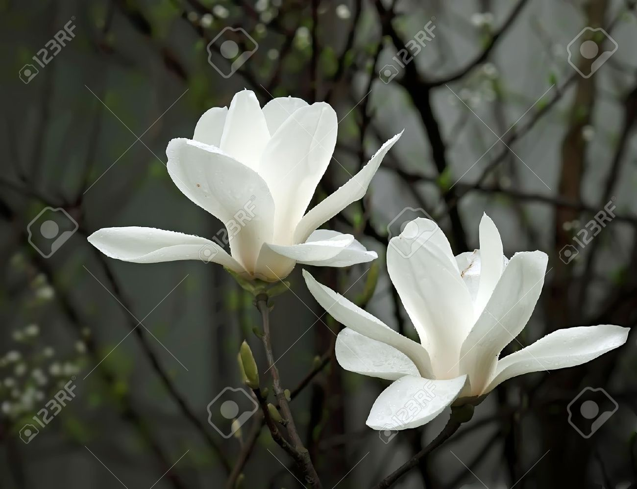 8455325 a beautiful white magnolia flower with fresh odor stock picture of a beautiful white magnolia flower with fresh odor stock photo images and stock photography mightylinksfo Images