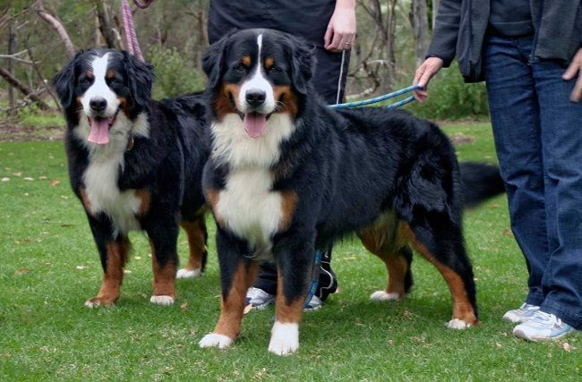 Bernese Mountain Dog Size Comparison Mountain Dogs Dogs