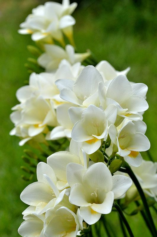 Freesia 2 Freesia Flowers Types Of Flowers Beautiful Flowers