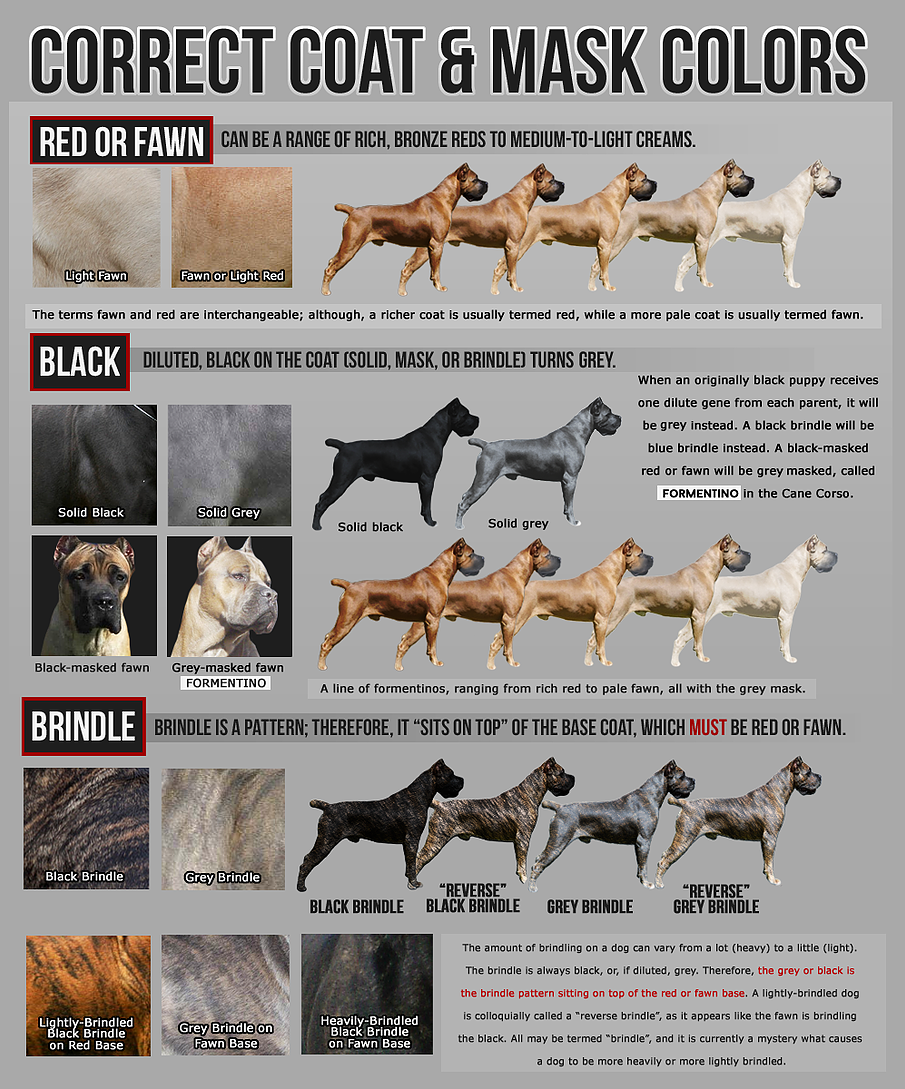 Correct cane corso colors dogs i want pinterest dog animal correct cane corso colors nvjuhfo Images