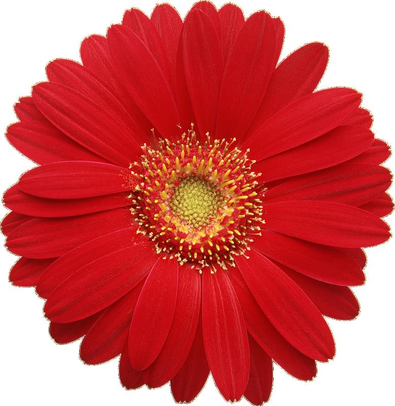red gerber daisy clipart cards 3d pinterest flowers rh pinterest com gerber daisy border clip art gerbera daisy clip art free