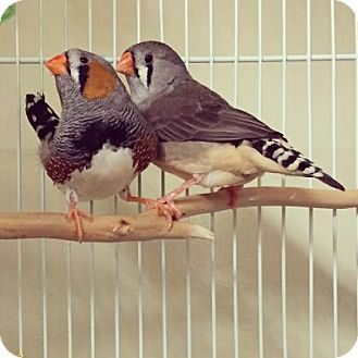 Arlington Va Finch Meet Romeo Bonded Pair A Pet For Adoption At Animal Welfare League Of Arlington 2650 S Arlington Mill Dr Arlington Avia Pet A