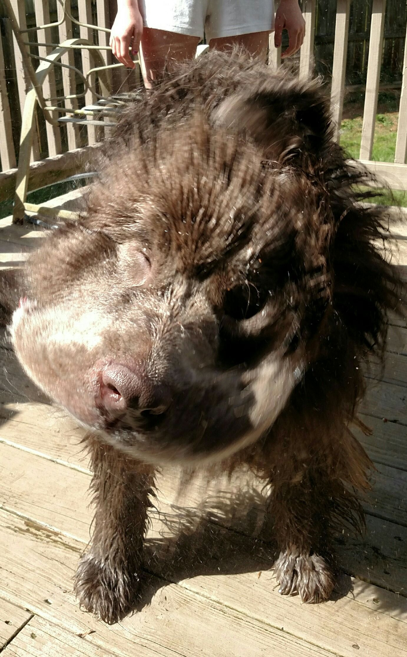 Gandalf Mush Shake During His Bath Newfoundland Dog