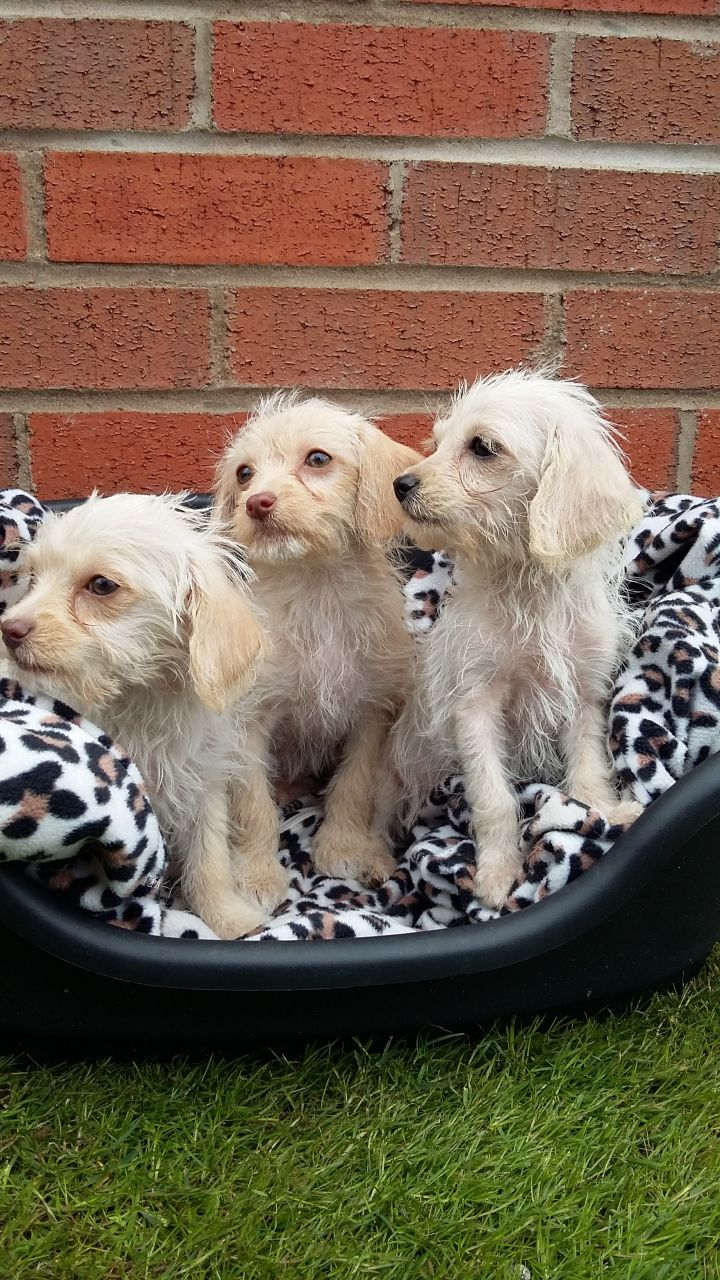West Highland Terrier x Minature Poodle Puppies   Manchester, Greater Manchester   Pets4Homes