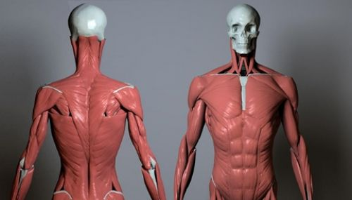 back neck anatomy sculpt - Google Search AGC Anatomy for artists
