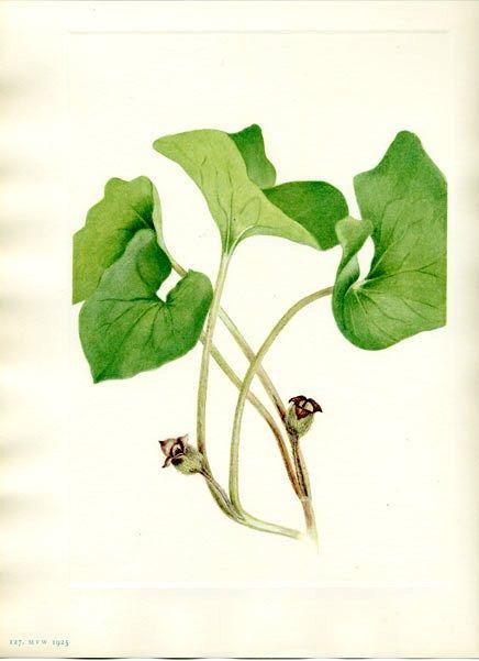 Wild Ginger Asarum Caudatum Pacific Northwest Native Perennial Plant Illustration Vintage Botanical Prints Botanical Drawings
