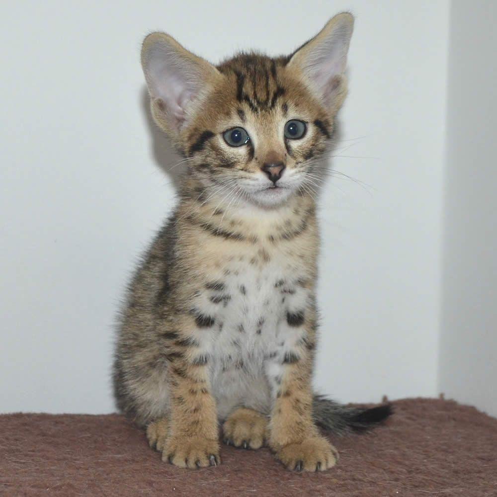 Love This Male Savannah Kitten And All His Charm Savannah