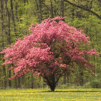 White Kousa Dogwood Fast growing trees, Red dogwood