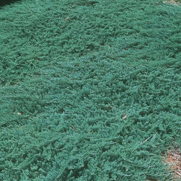 Juniperus Horizontalis Wiltonii Blue Rug Juniper Creeping Pots 3 In