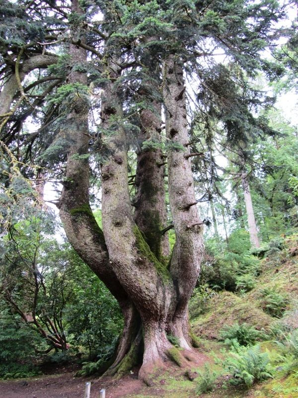 Silver Fir in Ardkinglas Woodland, Scotland.