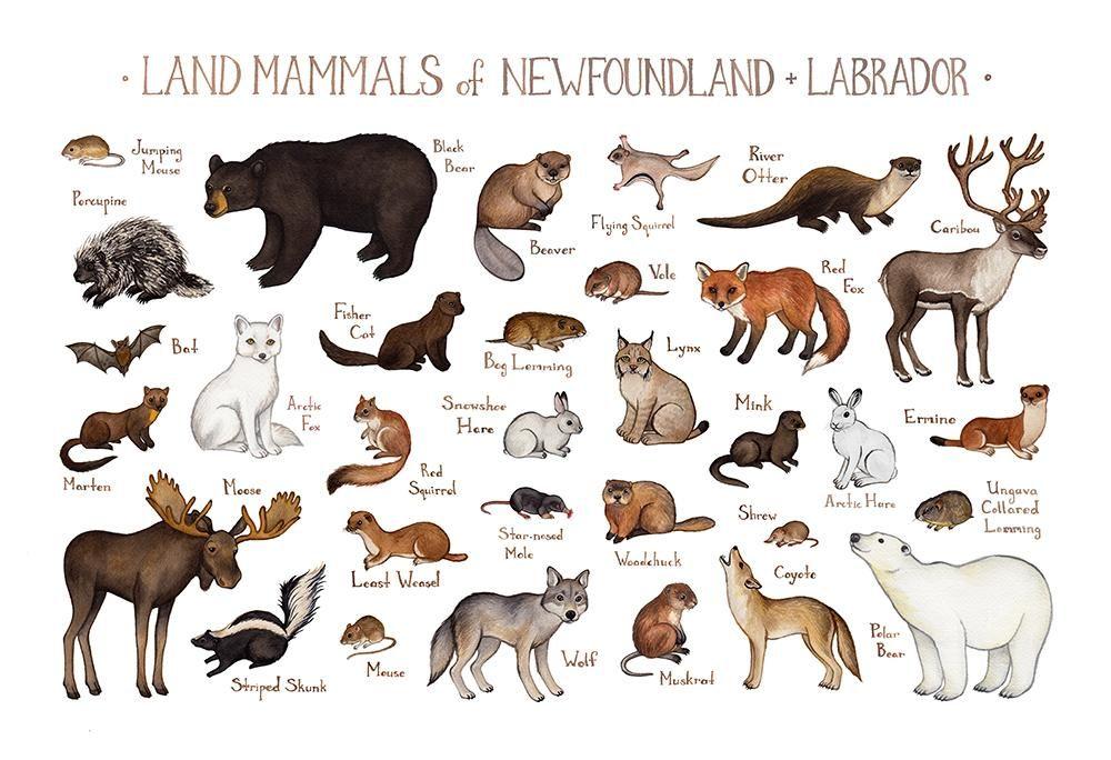 Newfoundland Labrador Land Mammals Field Guide Art Print