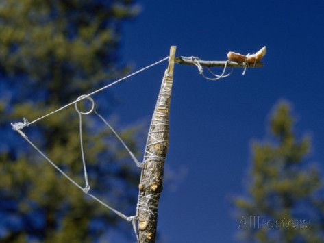 trap bird