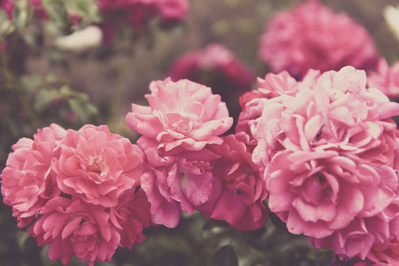 Rose garden Forkendorf - OGQ Backgrounds HD