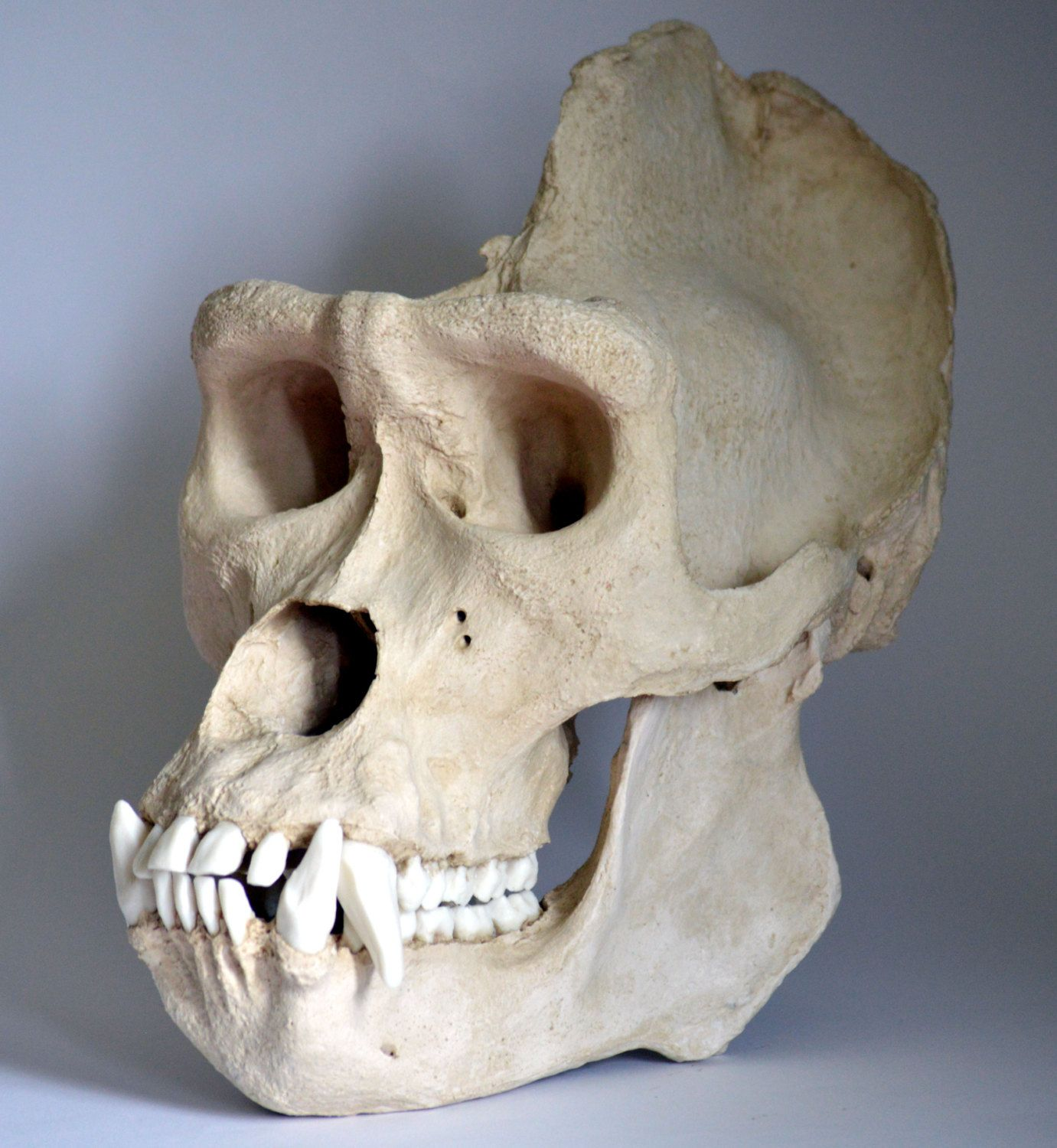 gorilla skull - Google Search | Gorilla Anatomy and ...