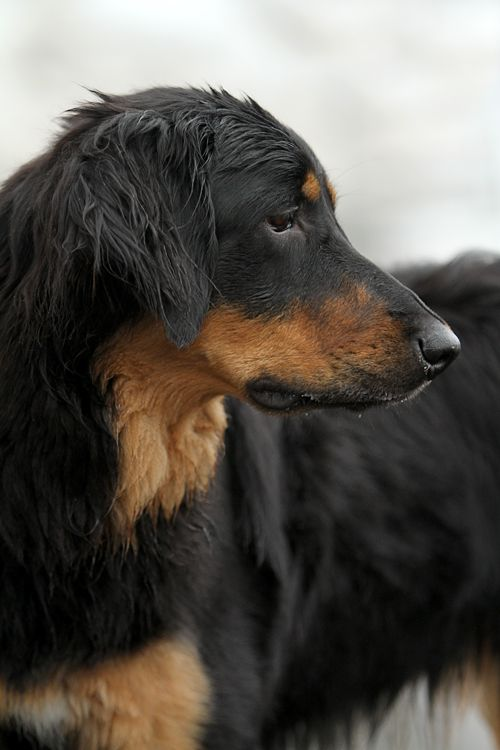 Hovawart Profile By Sannas On Deviantart Gorgeous Dogs Breeds Dog Breeds Dogs