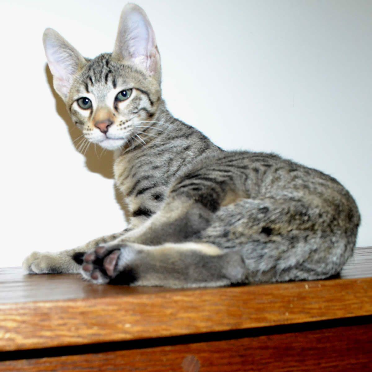 Wow Nice F6 Savannah Kittens Savannah Kitten