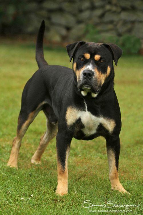 Mr Ca De Bou Unique Dog Breeds Dog Breeds Rare Dog Breeds