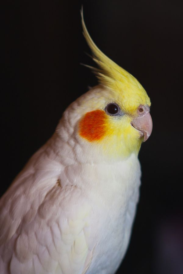Cockatiel (Nymphicus hollandicus) my cockatiel lookeed just like her evevn the smile rip babes