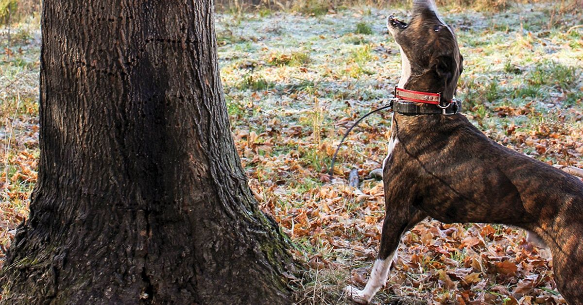 How To Train Your Own Squirrel Dog Like A Pro Plus 4 Breeds To