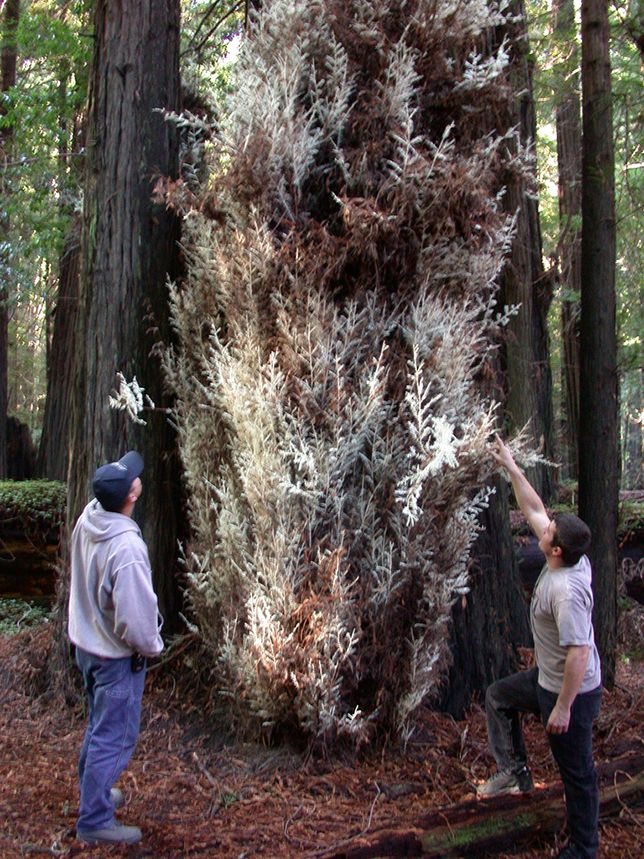 The mysterious world of albino redwood trees | Trees ... Albinism In Animals And Plants