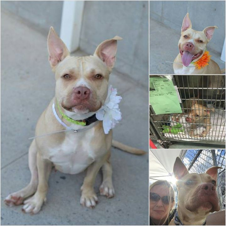 SUPER URGENT FLINT - A1051223 - - Brooklyn TO BE DESTROYED 09/17/15 Flint is a smiley 2 year old Staffie mix who entered the Brooklyn ACC as a stray on 9/12. It took only 4 days for this AVERAGE rated beauty to get sick and land on the euth list. Who can a pup get adopted when they simply run out of time before they can meet potential adopters? She aced her SAFER and she belongs in a home, not on death row. http://nycdogs.urgentpodr.org/flint-a1051223/