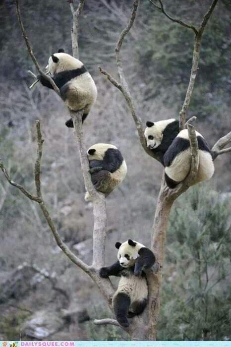 Climbing Panda Bears!