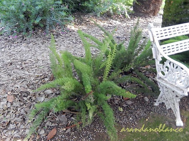arbustosensevilla-encinarosa Asparagus densiflorus ·