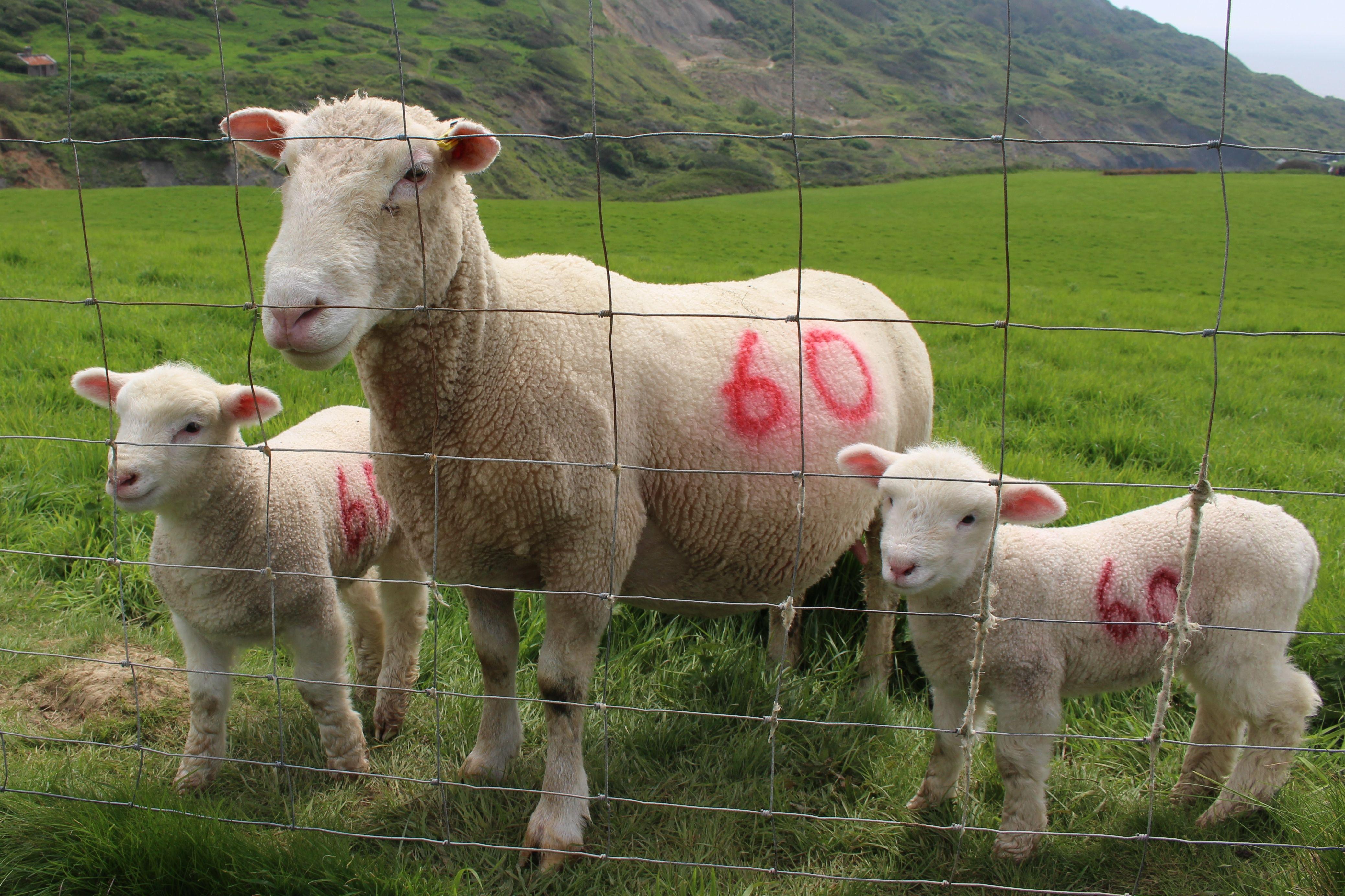 Spring lambs with mum. May 2014. Dorset coastal path.