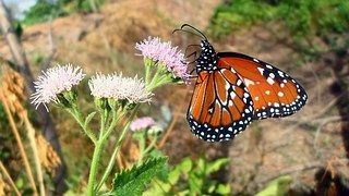 Mariposa, Flores, Naturaleza