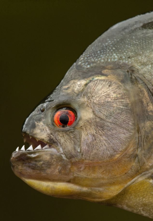 How the black piranha has the most powerful bite of any for Piranha fish finder