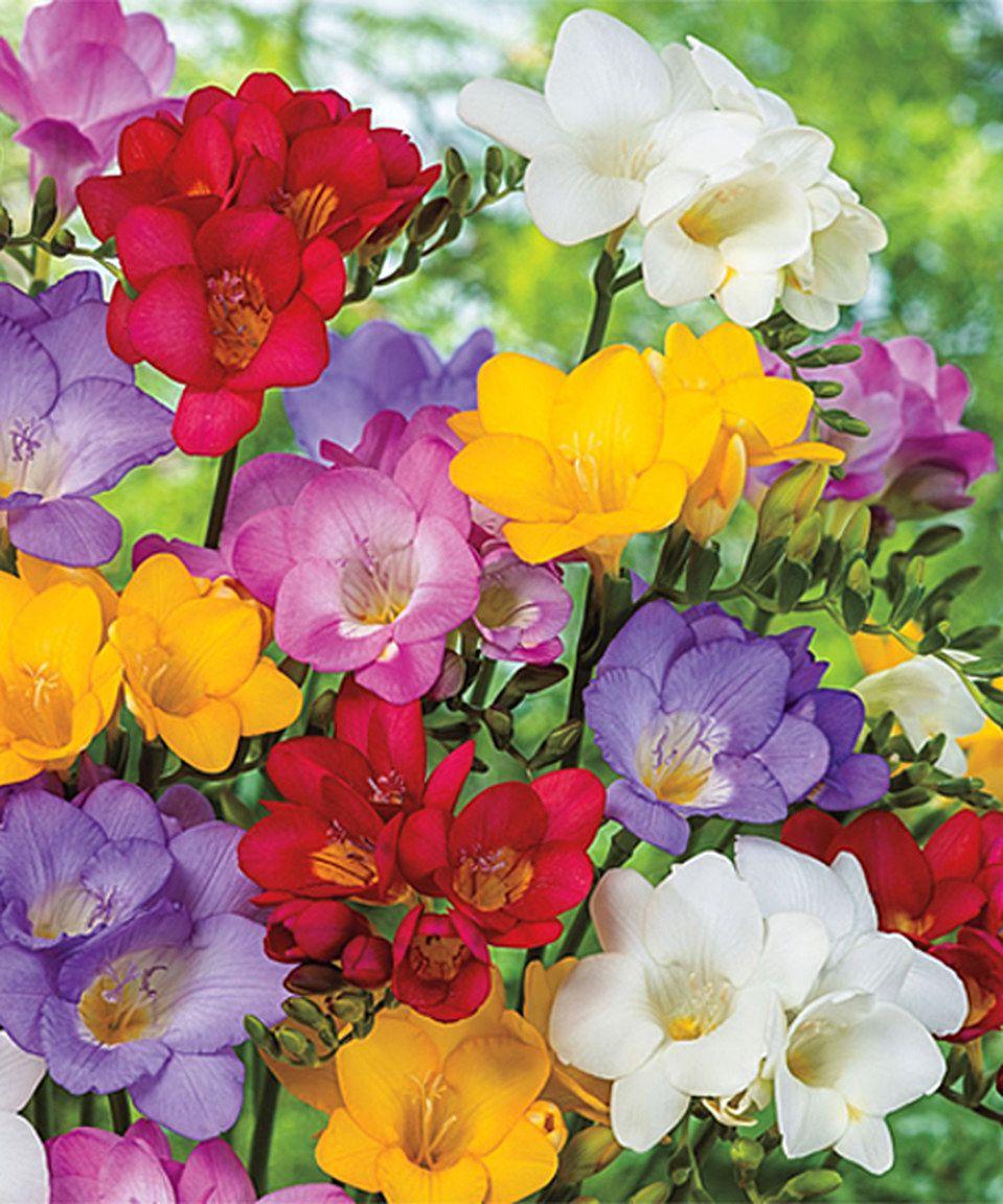 Mixed Single Freesia Bulb Flowers Spring Hill Nursery Freesia
