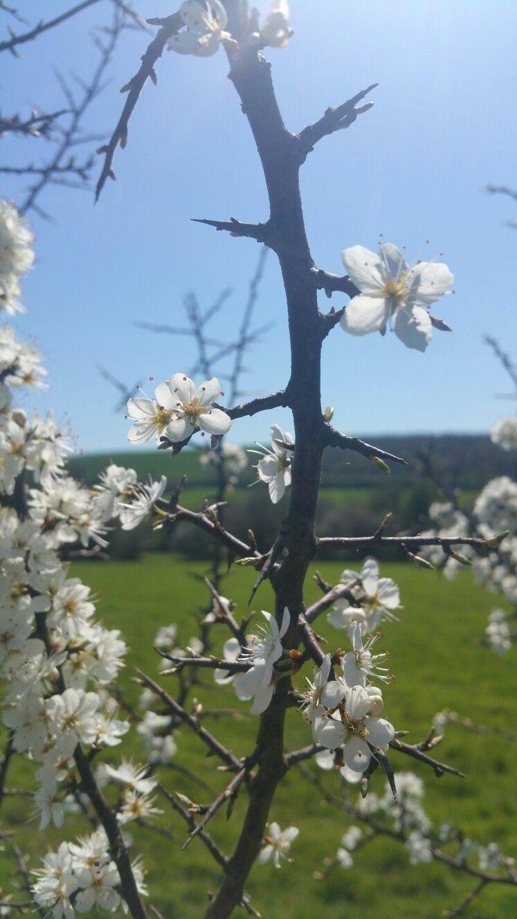 Blackthorn blossom cherry blossom blossom flowers