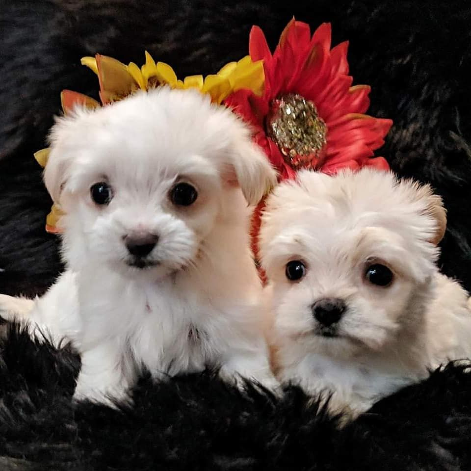 Maltese Puppies For Sale in Kuwait Dogs and Puppies for