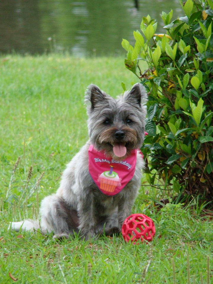 Cairn terrier cute dogs cairn terrier i love dogs