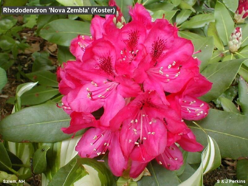 best red rhododendron nova zembla koster azalea rhododendron forum gardenweb gardening. Black Bedroom Furniture Sets. Home Design Ideas
