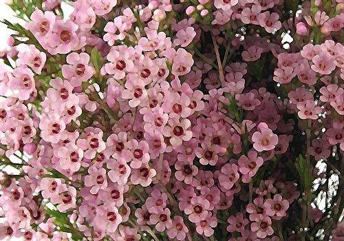 Pink Waxflower Google Search Flugstad Flowers Light Pink Flowers Pink Flowers