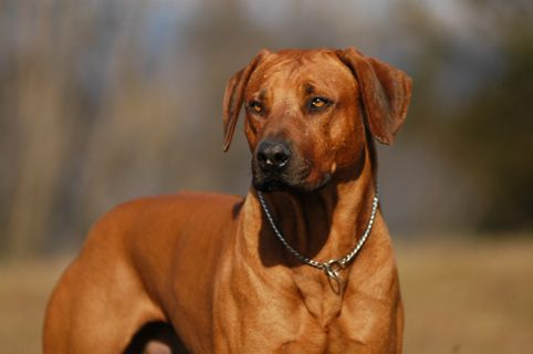 Rhodesian Ridgebacks They Originate In Africa They Hunted Lions In Packs Knowing One Of Them Would Not Rhodesian Ridgeback Rhodesian Ridgeback Dog Lion Dog