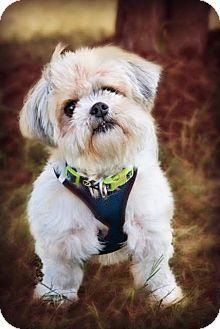 Westminster Md Pekingese Poodle Miniature Mix Meet Sir Arthur A Dog For Adoption Http Www Adoptapet Com Pet 1712333 Pets Dog Adoption Kitten Adoption