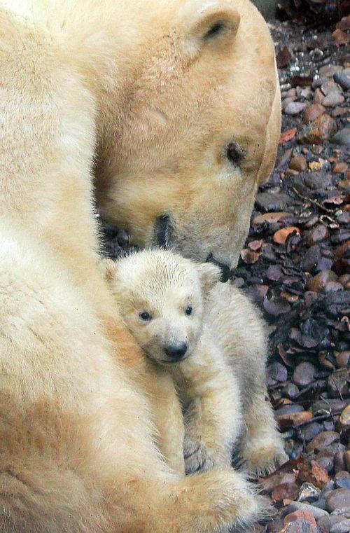 Osos polares - madre e hijo