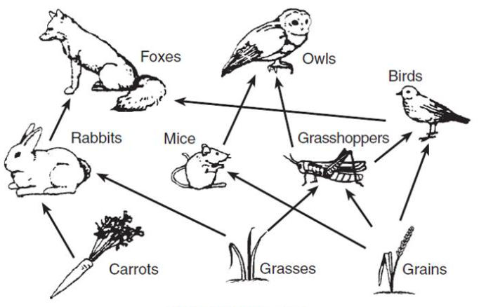 Explain To Kids Food Chains Littlelives Biology Diagrams Food Web Food Chain